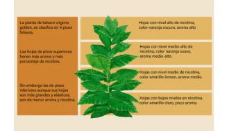 Clasificación de la planta del tabaco